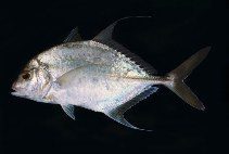 Image of Carangoides dinema (Shadow trevally)
