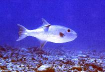 Image of Canthidermis maculata (Rough triggerfish)