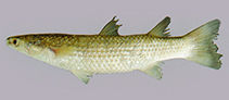 Image of Planiliza planiceps (Tade gray mullet)