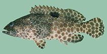 Image of Epinephelus melanostigma (One-blotch grouper)