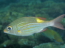 Image of Gnathodentex aureolineatus (Striped large-eye bream)
