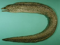 Image of Gymnothorax johnsoni (Whitespotted moray)
