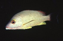 Image of Lutjanus fulvus (Blacktail snapper)