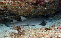 Image of Nebrius ferrugineus (Tawny nurse shark)