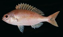 Image of Parascolopsis eriomma (Rosy dwarf monocle bream)