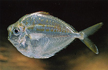 Image of Secutor ruconius (Deep pugnose ponyfish)